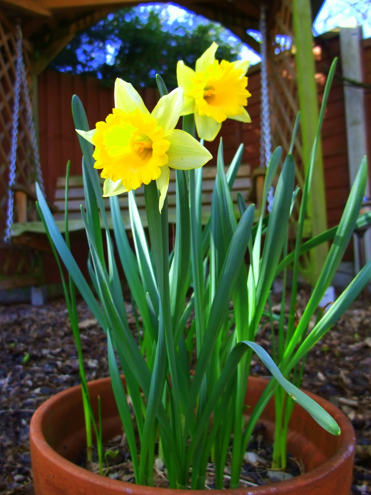 The daffs are back