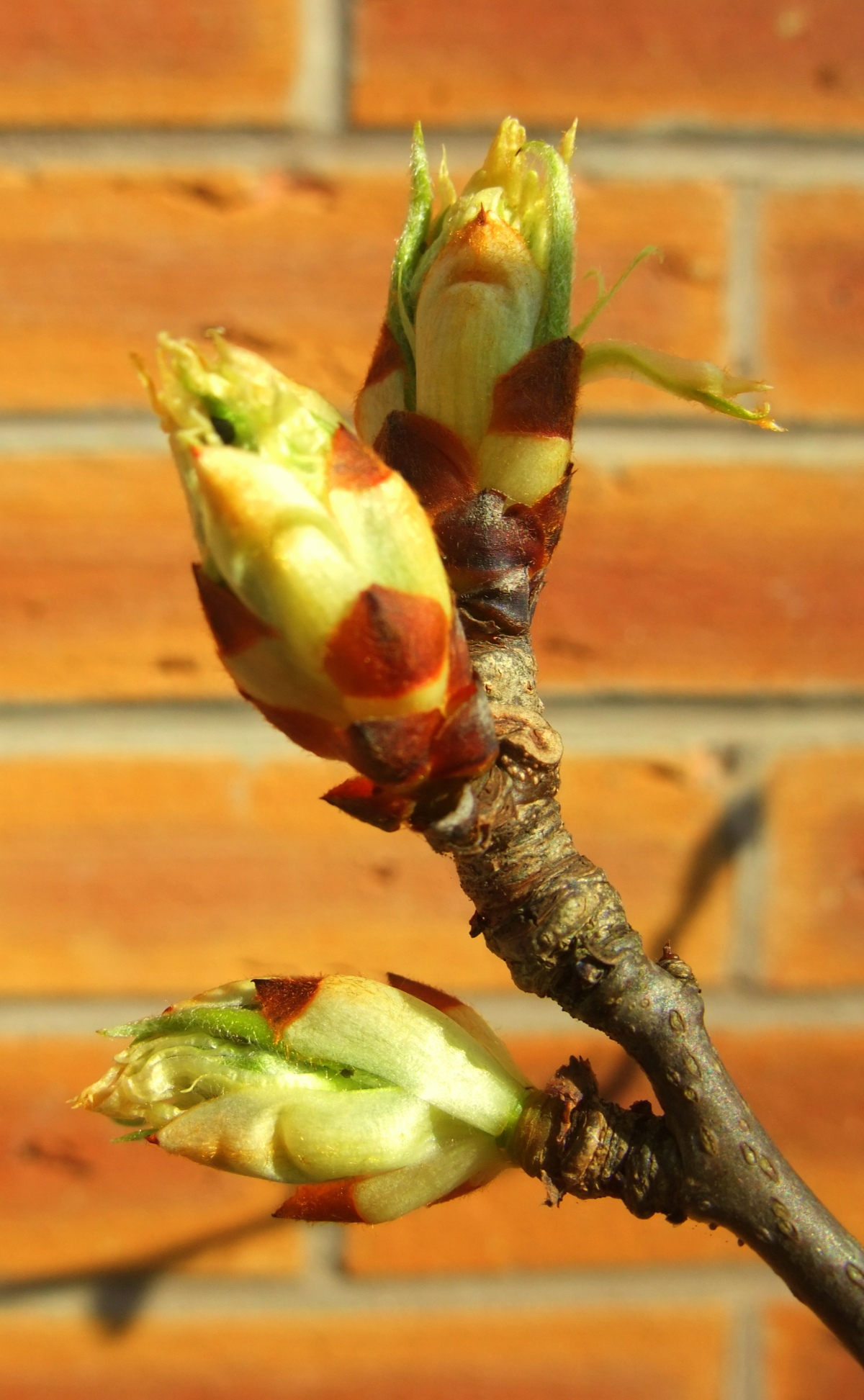Pear Tree Buds