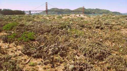 Dunes of Crissy Field
