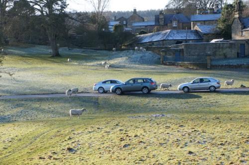 Sheep - lacking in road sense