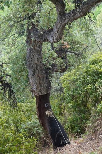 Cork tree post-harvest
