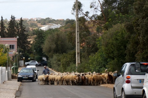 Traffic delay due to sheep