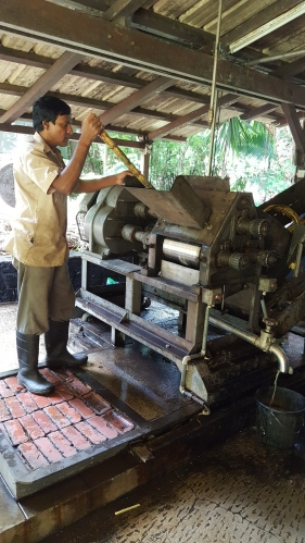 Sugarcane being crushed for its nectar