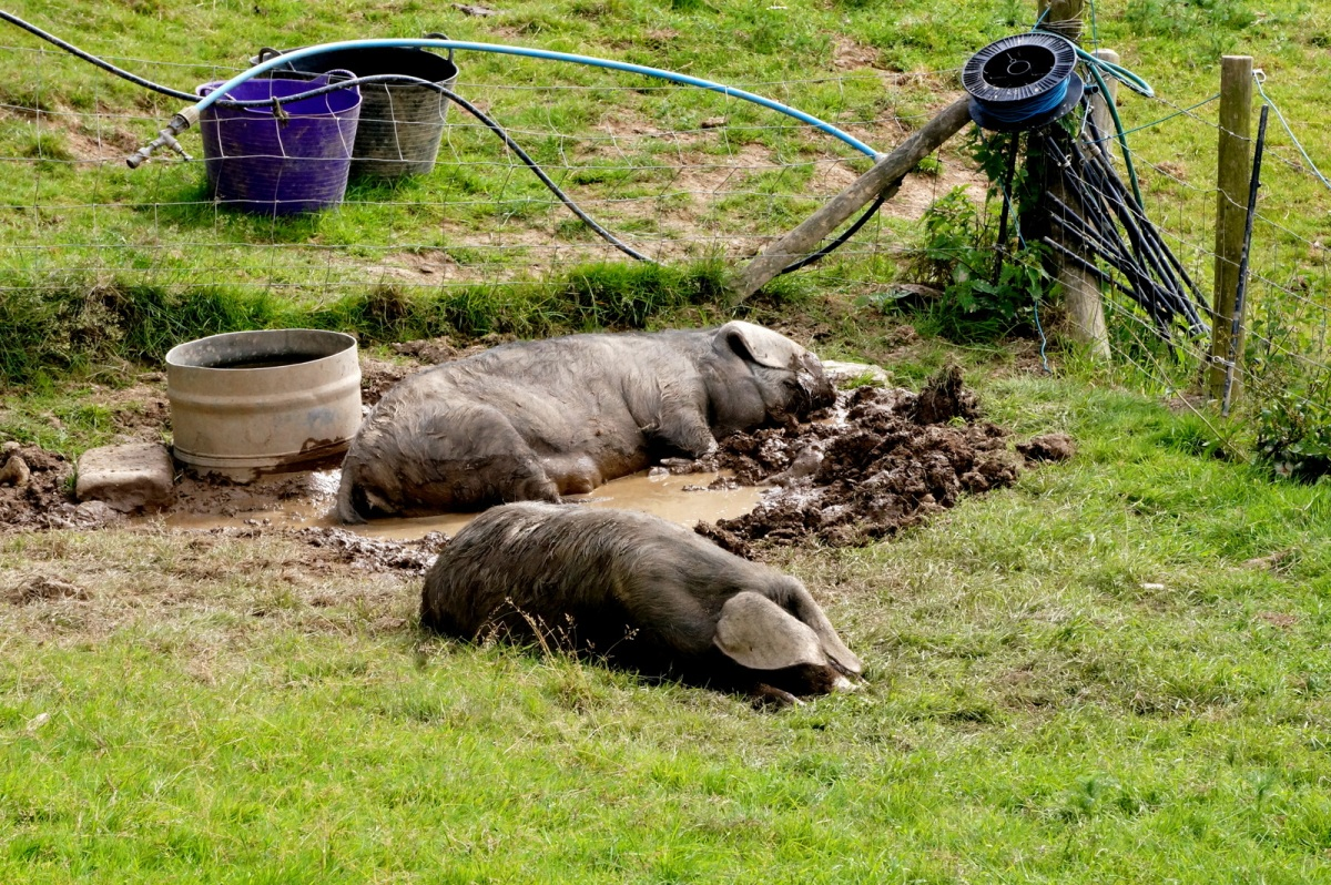 Happy as pigs in mud