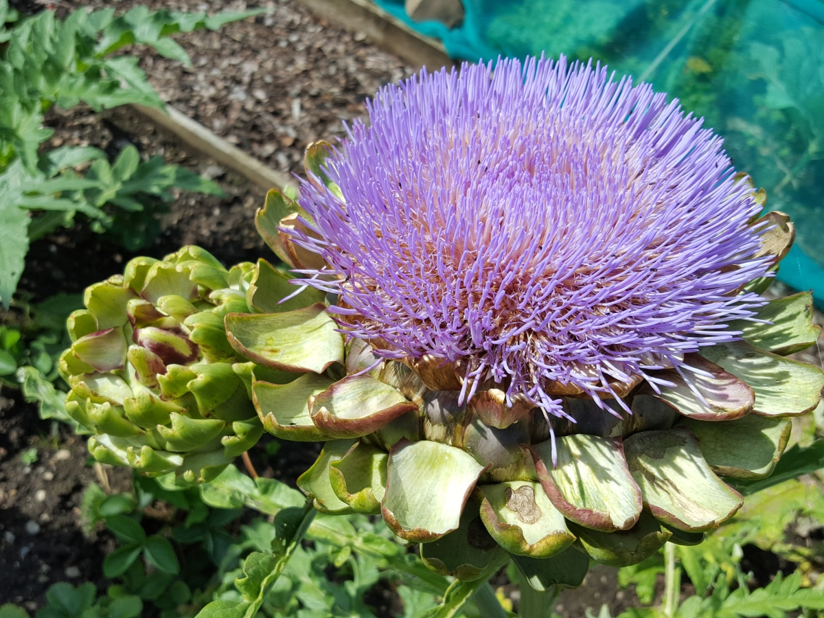 Exotic beauty of the globe artichoke