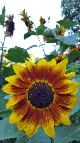 Sunflowers love the sun